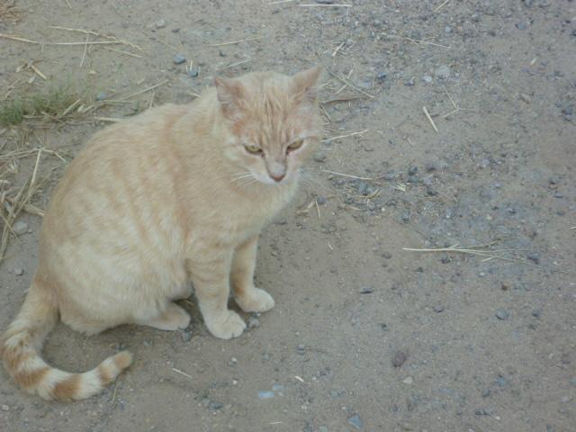image de chat beige